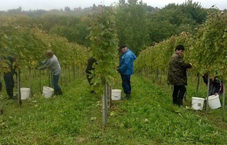 berba grožđa vinograd