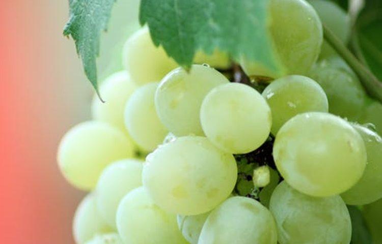 grozdje 3
