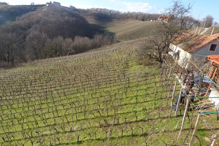 vinograd gorice vincekovo