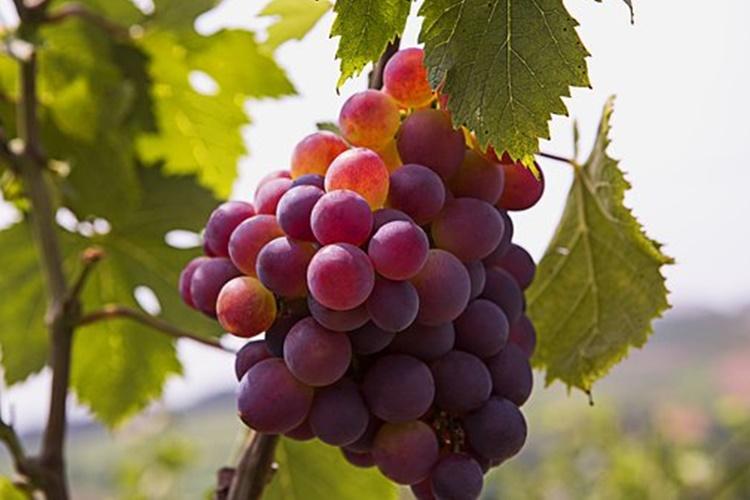 grozdje 4