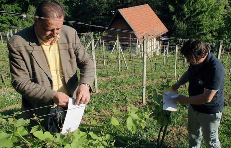 podjela ljepljivih ploca za vinograd 2
