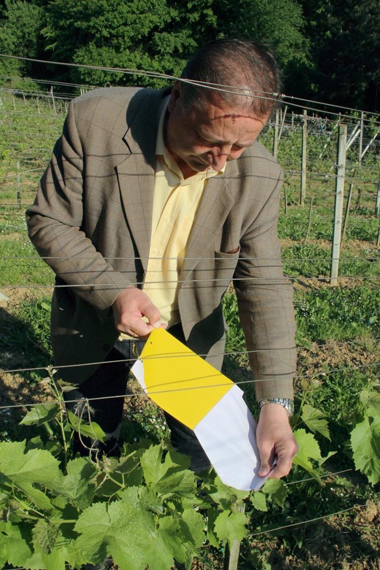 podjela ljepljivih ploca za vinograd 3
