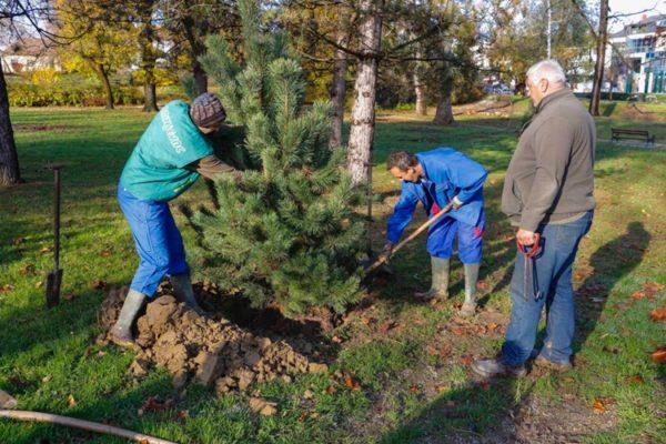 ivanec drva sadnja 1